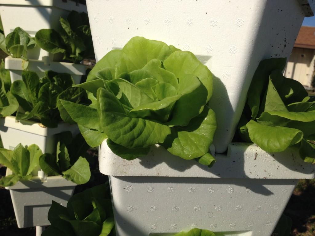 Hydroponic leaf mix