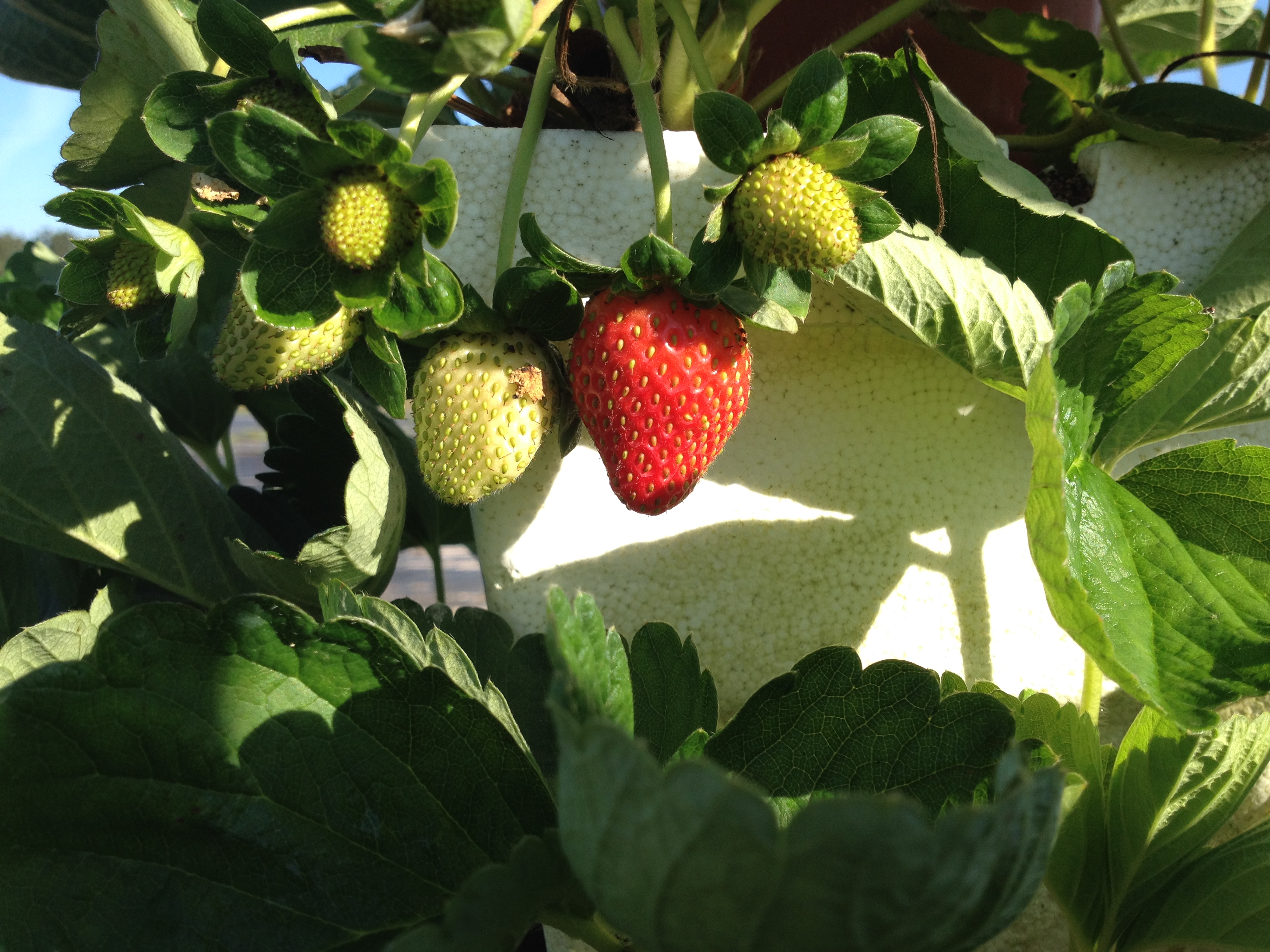pictures from the hydroponic farm backyard food
